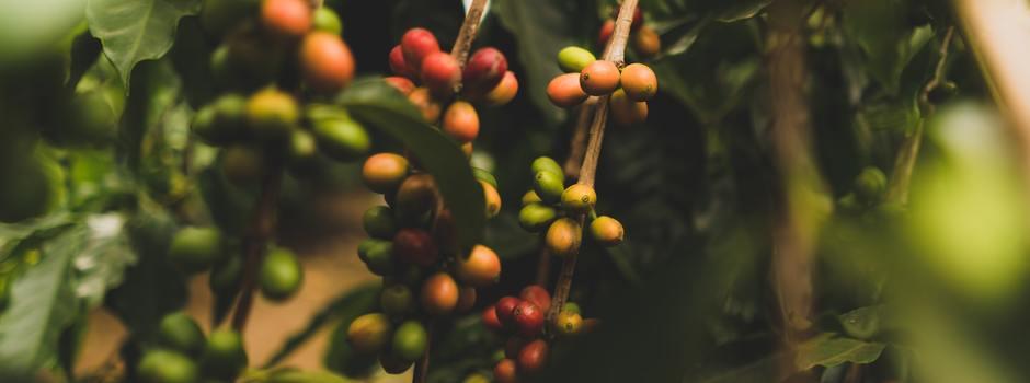 Principal produto da pauta de exportações do agronegócio mineiro, o café representou 44,9% do total comercializado nesses cinco meses - Foto: Divulgação/Seapa