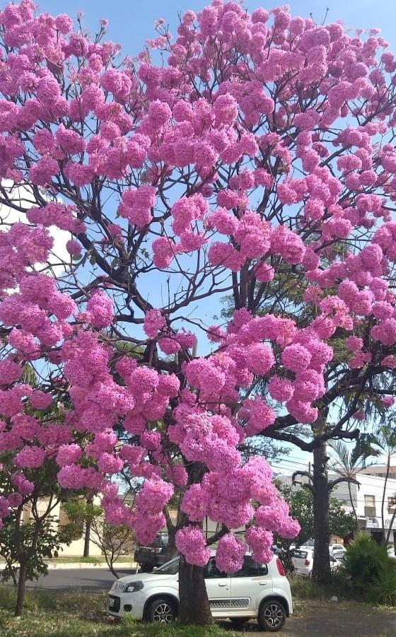O inverno começa neste sábado, trazendo também ao cerrado brasileiro a bela temporada da florada dos Ipês, é a natureza nos dando exemplos de resiliência