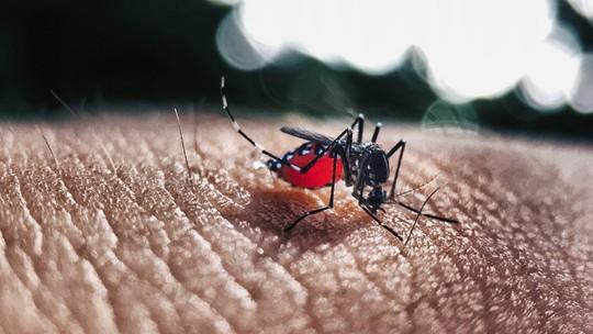 """Um mosquito """"primo"""" doAedes aegypt, chamadoAedes albopictus - Foto: Divulgação/Pixabay"""