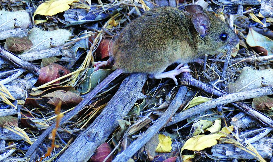 O roedor Bolonis Lasiurusé um dos reservatórios do hantavírus na América do Sul - Foto: Divulgação