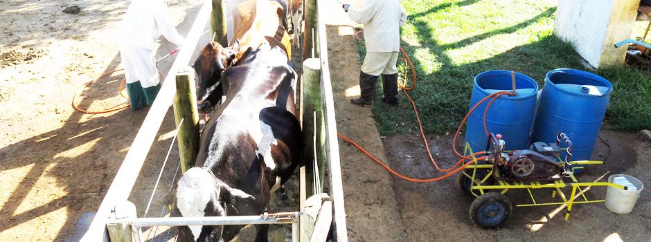 O banho dura por volta de dois minutos e são consumidos cerca de quatro a seis litros de medicamento por animal - Foto: Divulgação/Epamig