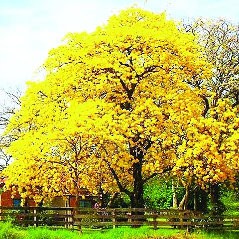 """Hoje, """"Dia da Árvore"""", vamos refletir sobre a importância da preservação das árvores. Um tributo à vida e à beleza da nossa flora, através do """"Ipê Amarelo"""", árvore símbolo do BRASIL"""