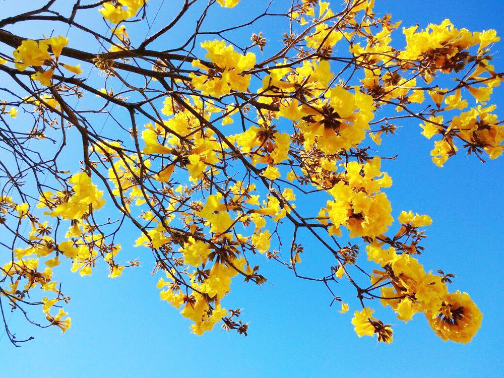 Ipê amarelo floresce em Florianópolis - Foto: Fernanda Burigo/G1