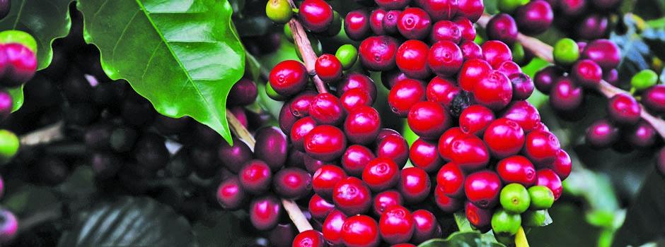 Minas Gerais é o maior produtor e exportador nacional de cafés - Foto: Divulgação/Emater-MG