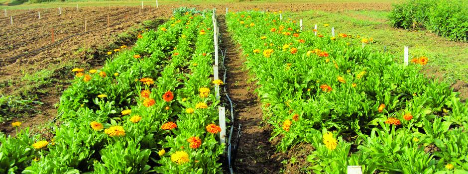 Flores da calêndula possuem propriedade anti-inflamatória - Foto: Maíra Fonseca / Epamig