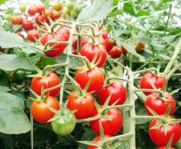 Produtores apostam no cultivo de tomates sem agrotóxicos - Foto: Divulgação