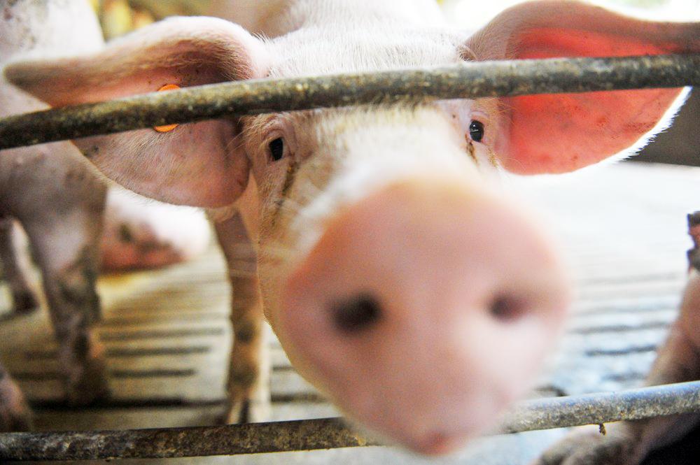 Exportação de carne suína - Foto: Angélica Luersen