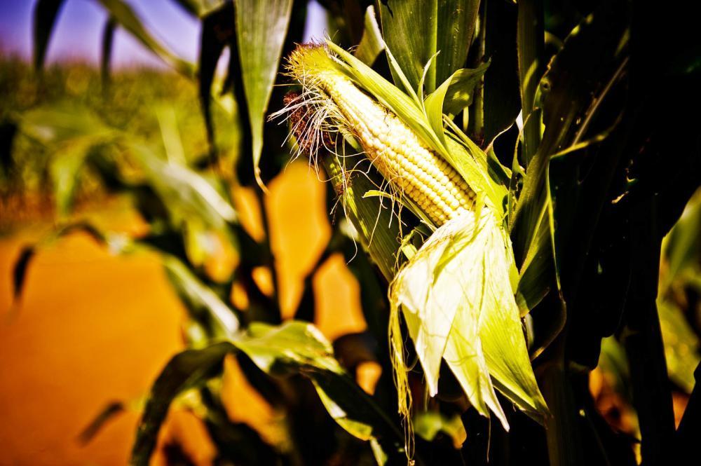 Plantação de milho dee aumentar ainda mais - Foto: Mayke Toscano/Gcom-MT