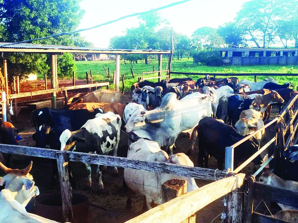 Ladrões roubaram 35 cabeças de gado em fazenda em Uberaba; animais foram recuperados - Foto: PMMG