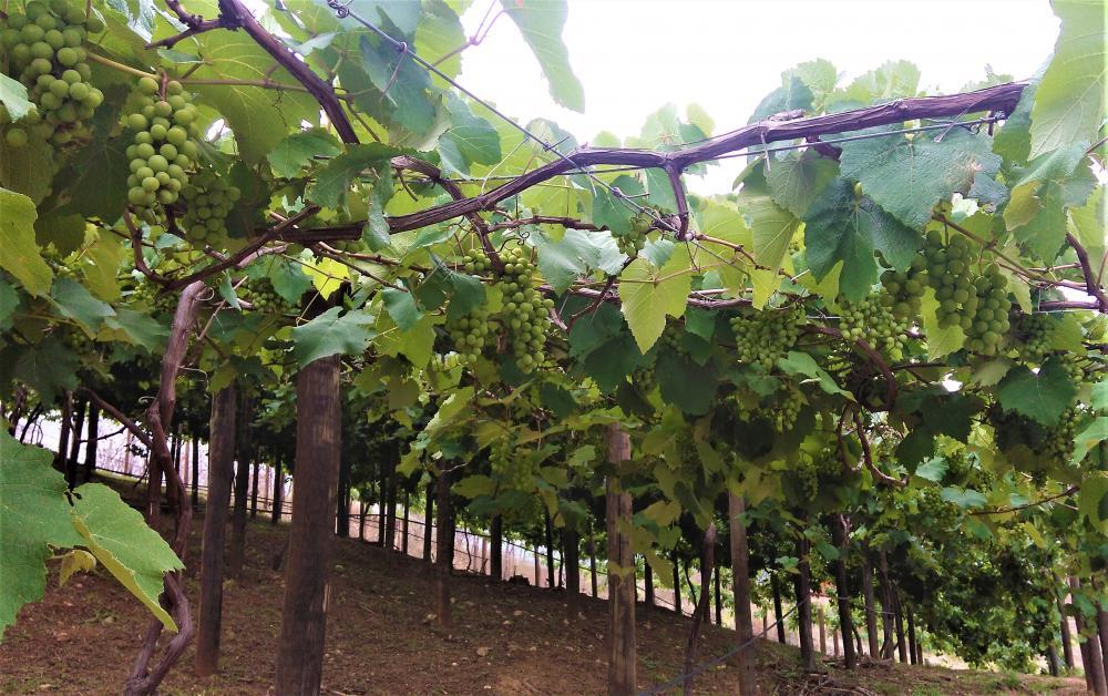 Comunidade quilombola, do município de Berilo, no Vale do Jequitinhonha, está colhendo os frutos de um trabalho feito para melhorar a produção de uva - Foto: Divulgação